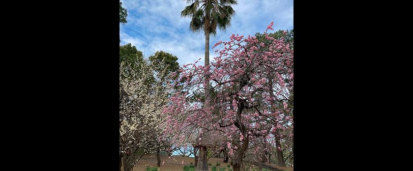 紅白の梅の木